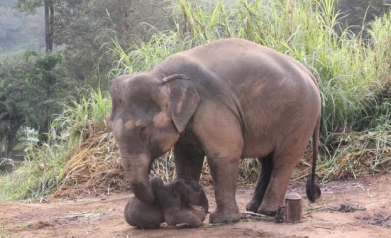 ตำนานช้างไทยหรือการใช้ชีวิตของช้าง: การตั้งท้องและตกลูกของช้าง
