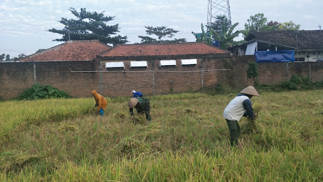 Tanpa Ragu, Sertu Sugiyarto Terjun Ke Sawah Bantu Petani Panen Padi
