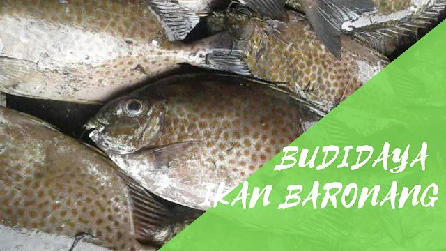 Cara Budidaya Ikan Baronang Menggunakan Keramba