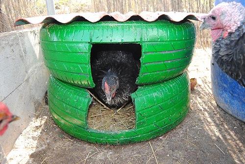La forma ms fcil de criar gallinas ponedoras julio 2012