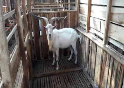 Kandang Kambing Domba| Kandang pejantan pemacek 3-4x lebih luas