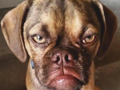 Cão fica chateado por levar bronca
