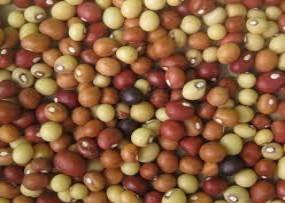 bambara beans aka Vigna subterranea