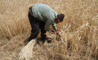 Iran has one of the most diverse climates of any country in the world, with a wide variation in farming conditions. Did you know that, Wheat is the most important grain in Iran and accounts for 70 percent of the grain production.
