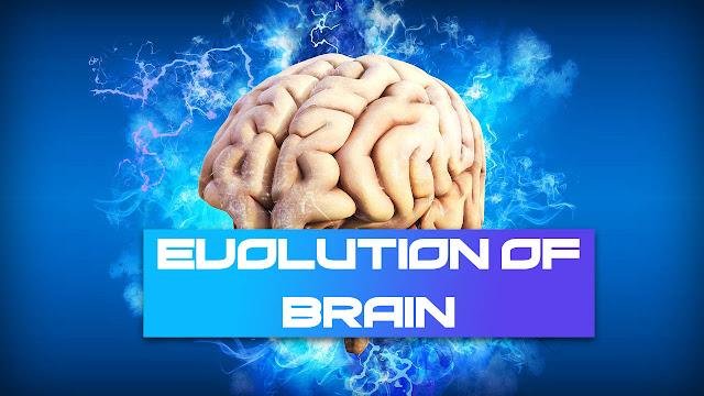 Evolution Of Brain