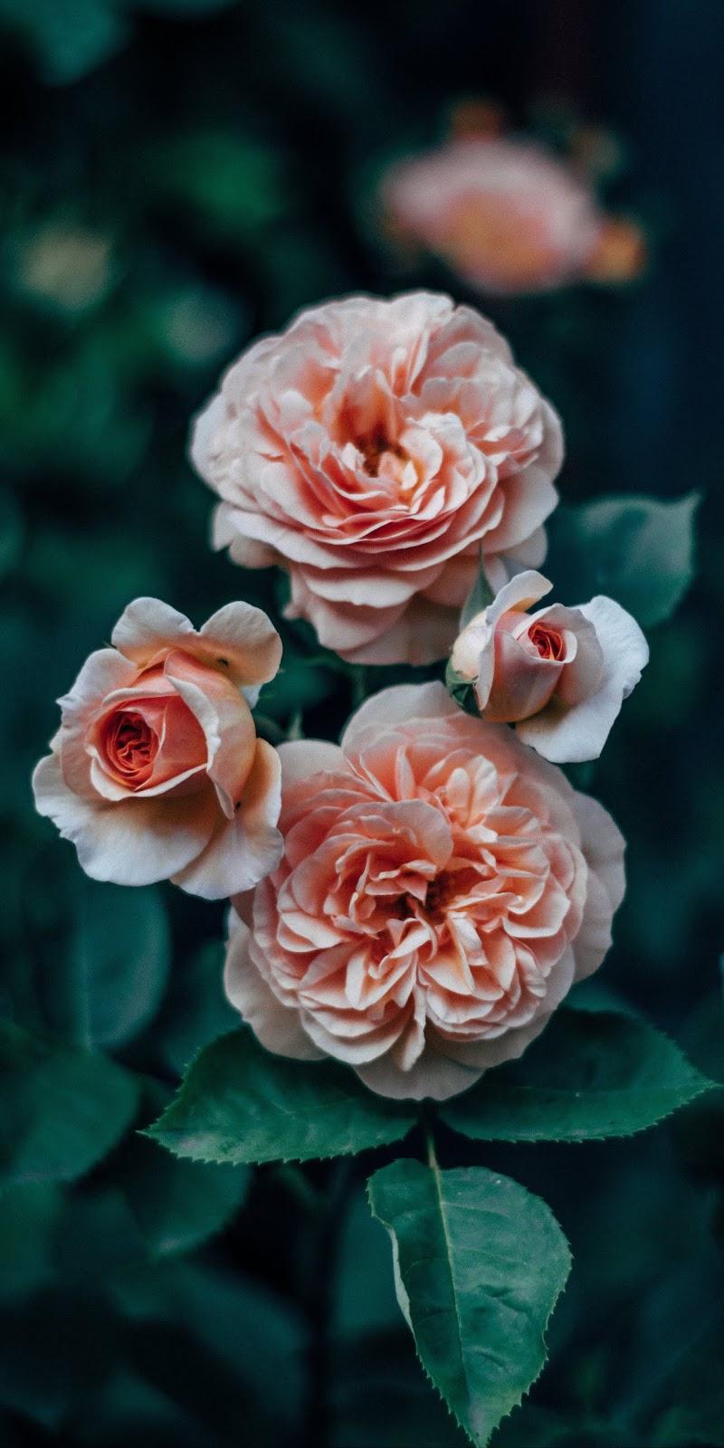 Hình nền hoa hồng siêu đẹp