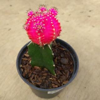 bibit-kaktus-gymno.jpg