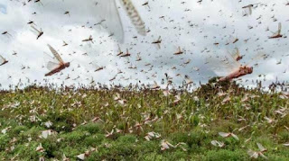 Locust Attack: What is a Locust team, where did it come from and how much damage can it cause, know everything