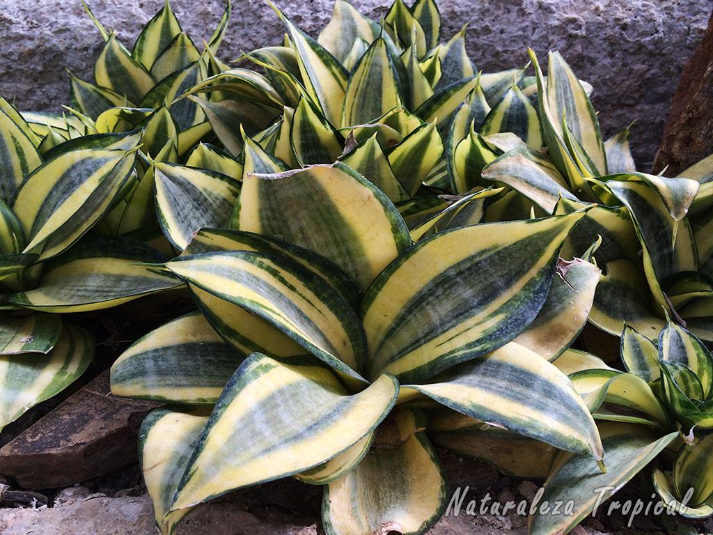 naturaleza tropical plantas que se multiplican por hojas. Black Bedroom Furniture Sets. Home Design Ideas