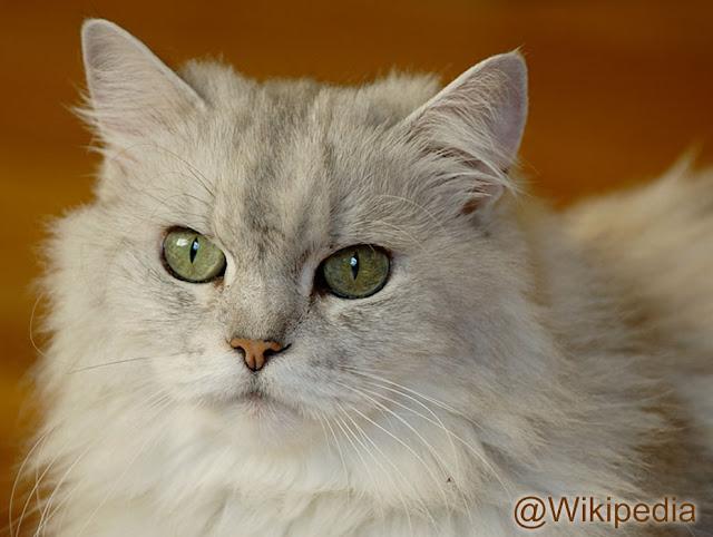 Kucing Persia Cantik