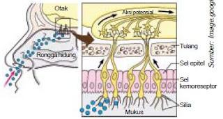 Anatomi Fisiologi Bagian-Bagian Hidung Serta Mekanisme Penciuman pada Alat Indra Pembau