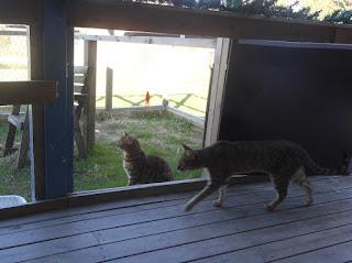 Bengalkatten Nitro och Savannahkatten Dart