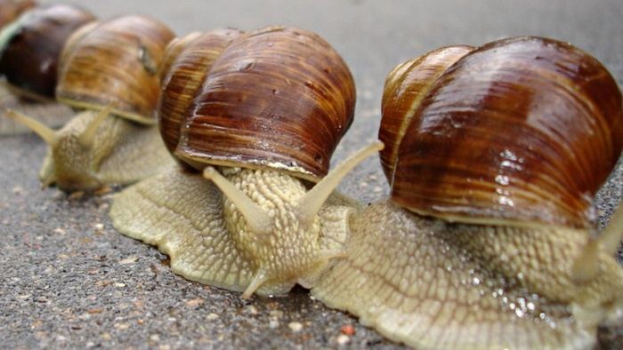 bekicot, balakecrot, gambar bekicot, mollusks definition, mollusks examples, mollusk lower classifications, mollusks characteristics, types of mollusks, molluscs lower classifications, what do mollusks eat, sea mollusk