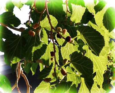 mulberries in the sun