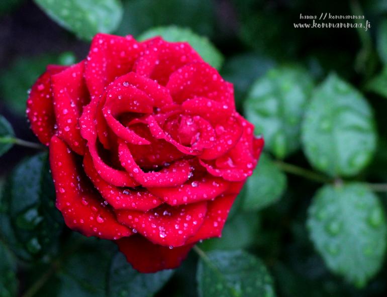 sadepisarat ruusussa