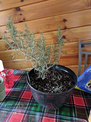 Rosemary plant indoors.