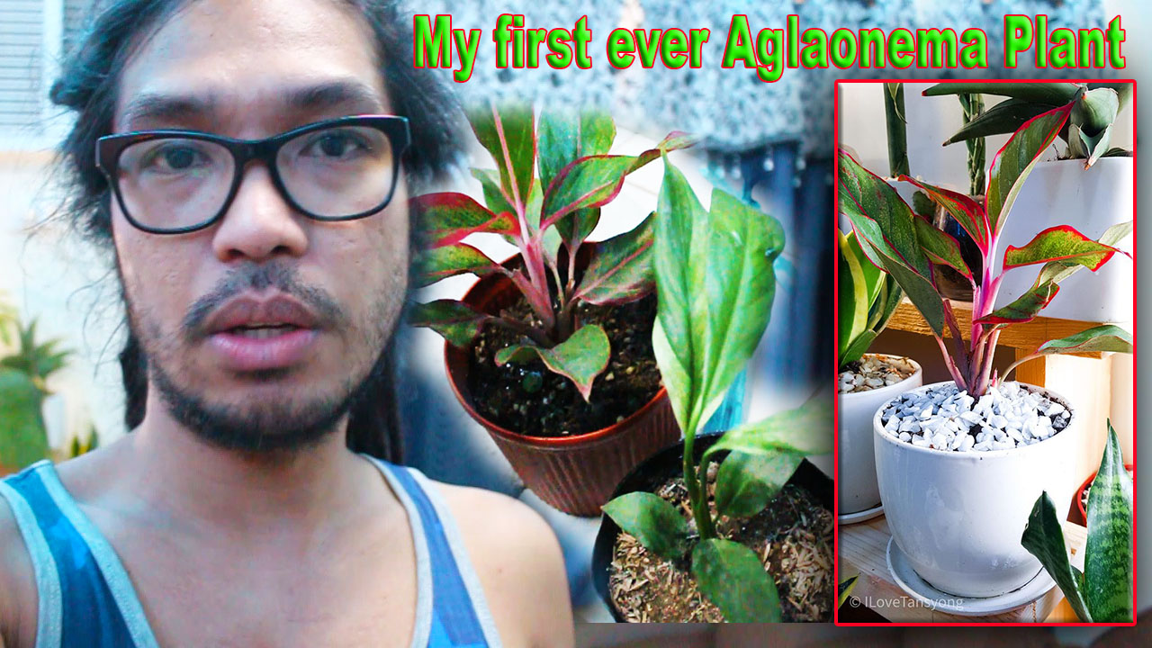 Jonathan Orbuda,I Love Tansyong TV,Blog,Blogger,peace lily,indoor plant,indoor plants,Aglaonema Red Lipstic,Variegated Peace Lily,Jade Pothos,chinese evergreen plant,chinese evergreen plant care,aglaonema plant care,aglaonema plants,plants for zero light,plants for small apartments,house plants for small apartment,indoor plants no light,micro living spaces,micro living,small condo tour,plantito and plantita,plantito vlogs,plant enthusiast