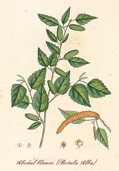 Turismo abaurrea betula alba - Abedul blanco ...