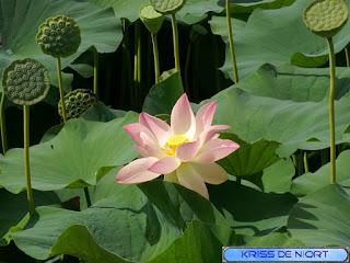 Lotus sacré - Lotus d'Orient - Nelumbo nucifera