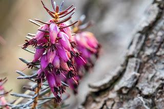 [Ericaceae] Erica carnea – Winter Heath, Spring Heath.