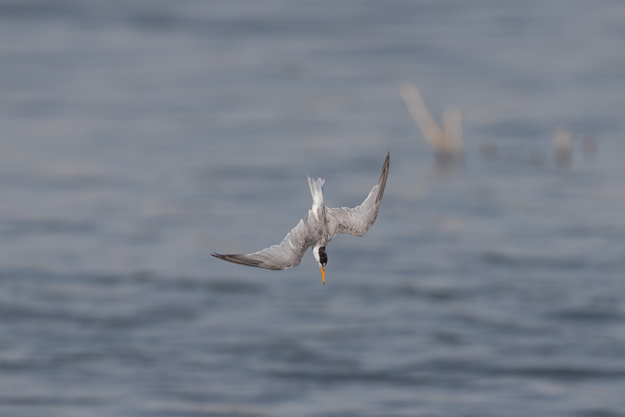 Fishing Little Tern