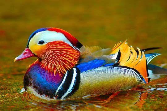Ao contrário de outras espécies de patos, o pato mandarim permanece com a parceira com a qual acasalou para o resto da vida. Inclusive auxilia no cuidado com os filhotes.