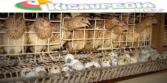 Peluang Bisnis Berternak Burung Puyuh