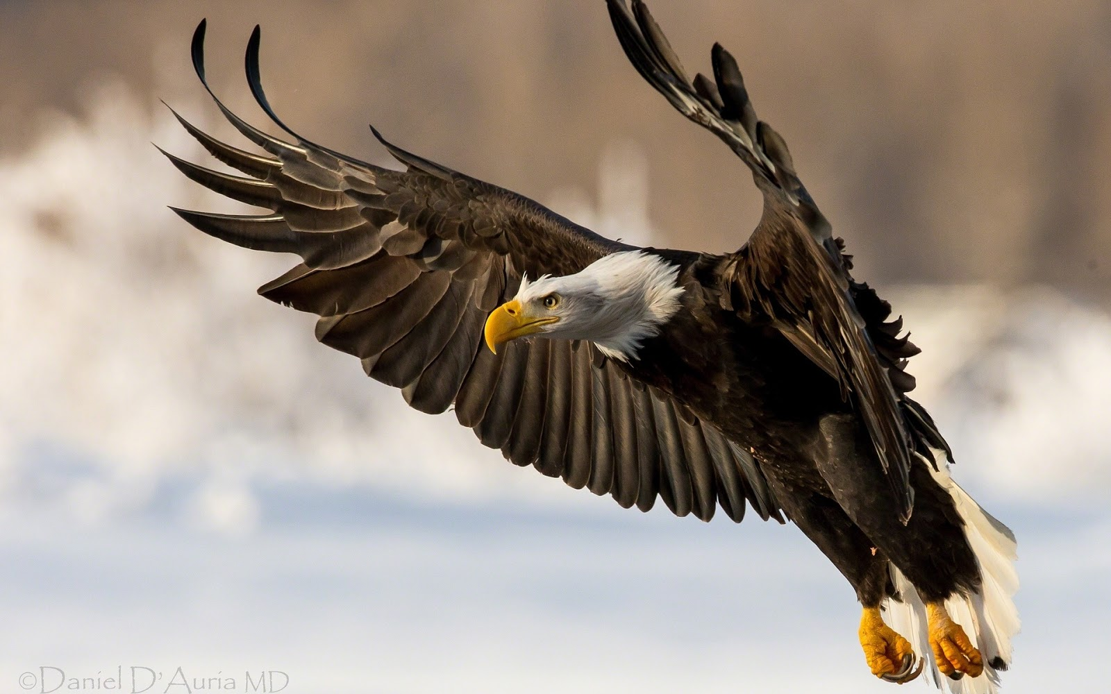 Beautiful Wallpapers: Eagle Wallpapers