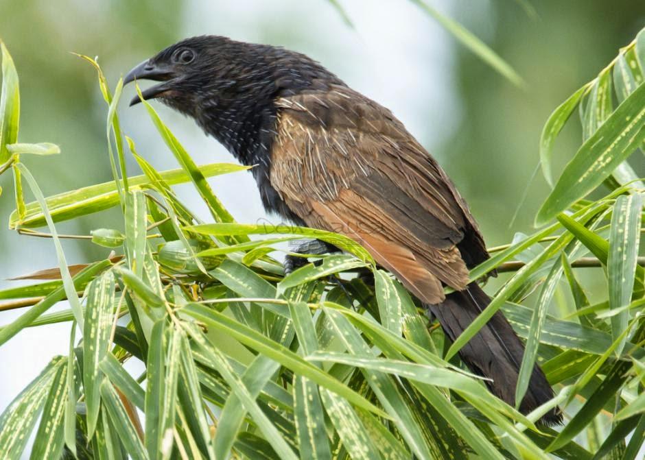 Cucal bengalí: Centropus bengalensis