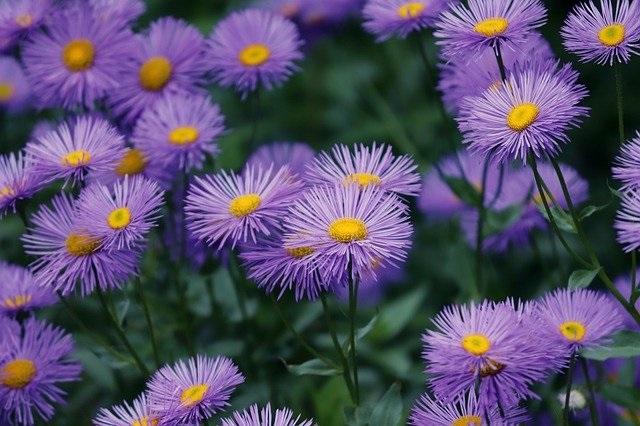Gambar bunga aster