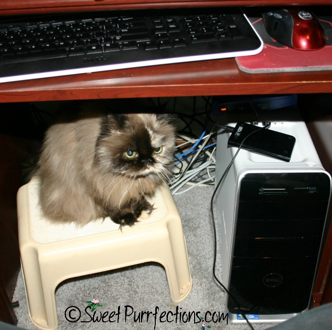 Tortoiseshell Persian, Praline, sitting on a stool under the computer desk