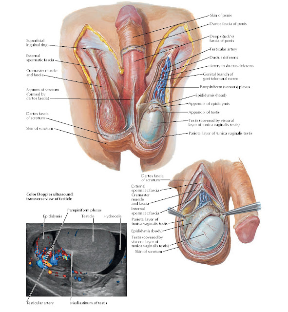 Scrotum and Contents Anatomy