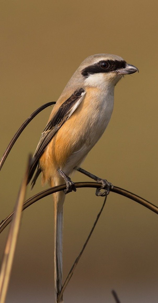 Long tailed shrike.