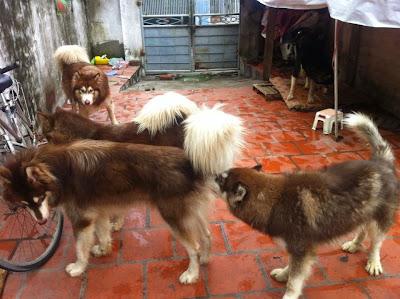 Hướng dẫn phân biệt chó Alaska và Husky