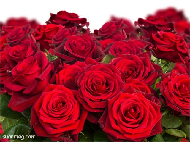 صور ورد - ورد احمر 13 | Flowers Photos - Red Roses 13