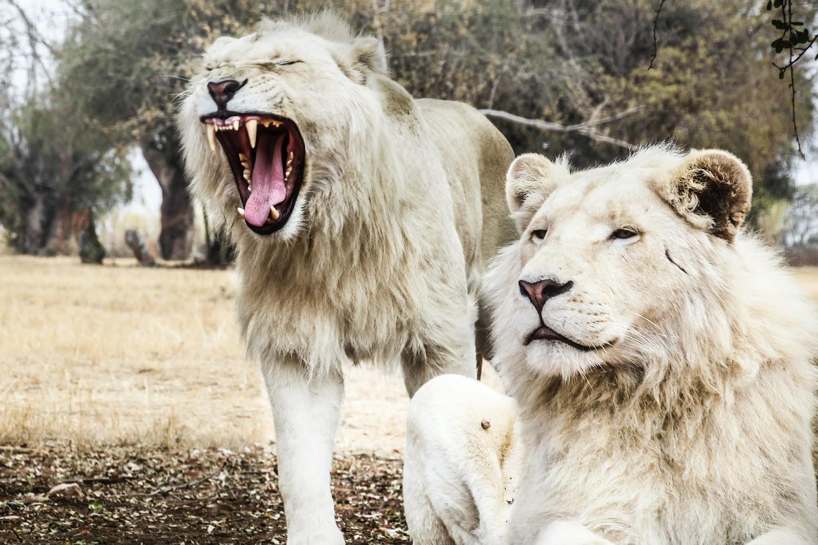 white long coat lion,lion images