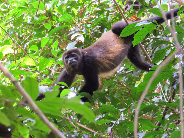 Costa Rica Wildlife: Howler Monkey in Manuel Antonio National Park
