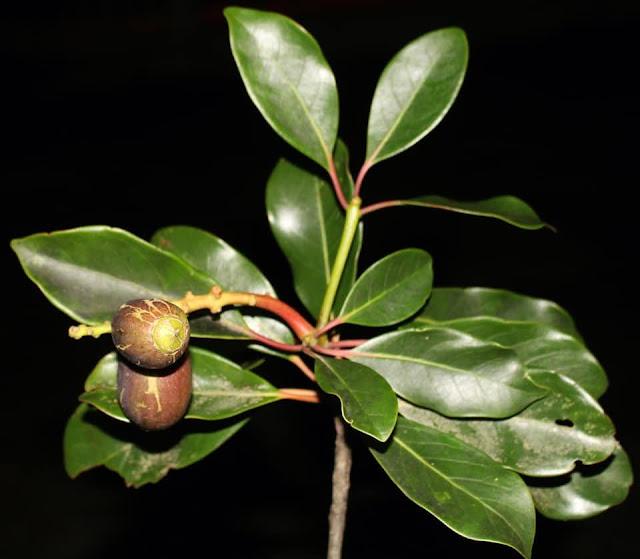 Diplopanax stachyanthus Hand.-Mazz.,