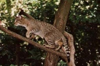 Sejarah Ras Kucing Kanaani