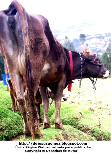 Vaca de la sierra del Perú. Foto de una vaca de Jesus Gómez