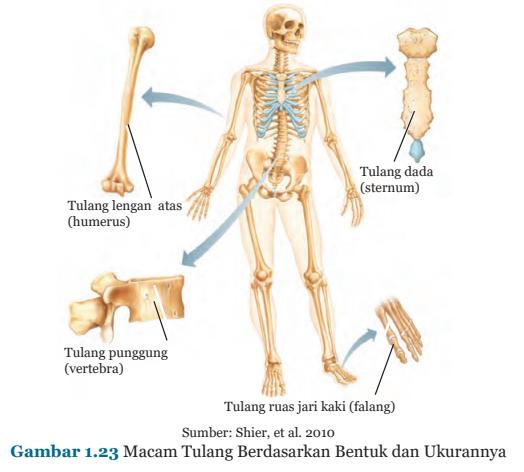 Gambar 1.23 Macam - macam tulang berdasarkan bentuk dan ukurannya
