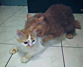 Cara Mengawinkan Kucing Persia Yang Benar Bagi Pemula