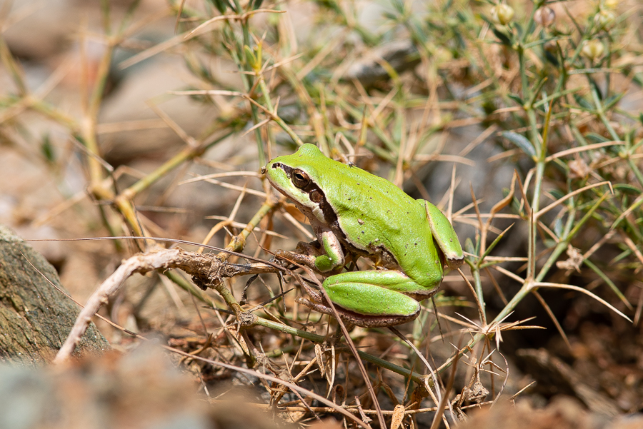 Arabian Tree Frog