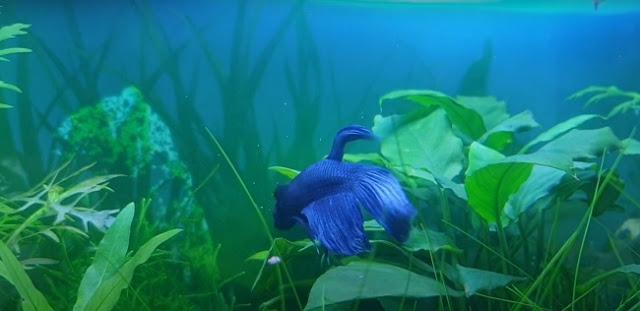Betta - Beginner Fish