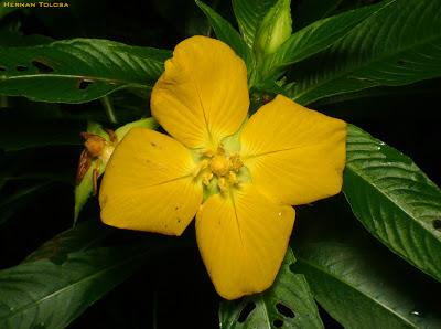 plantas semiacuaticas argentinas