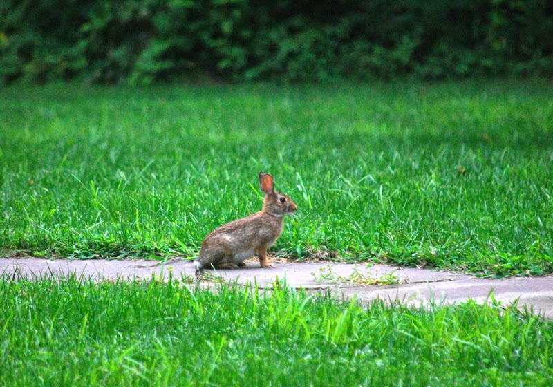 Pennsylvania wild rabbit