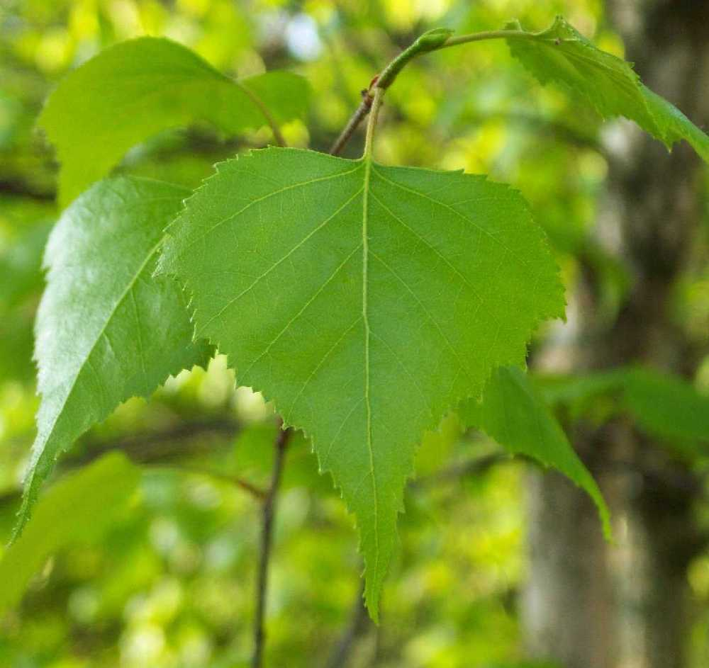 Black Mulberry used for Diabetes Tea
