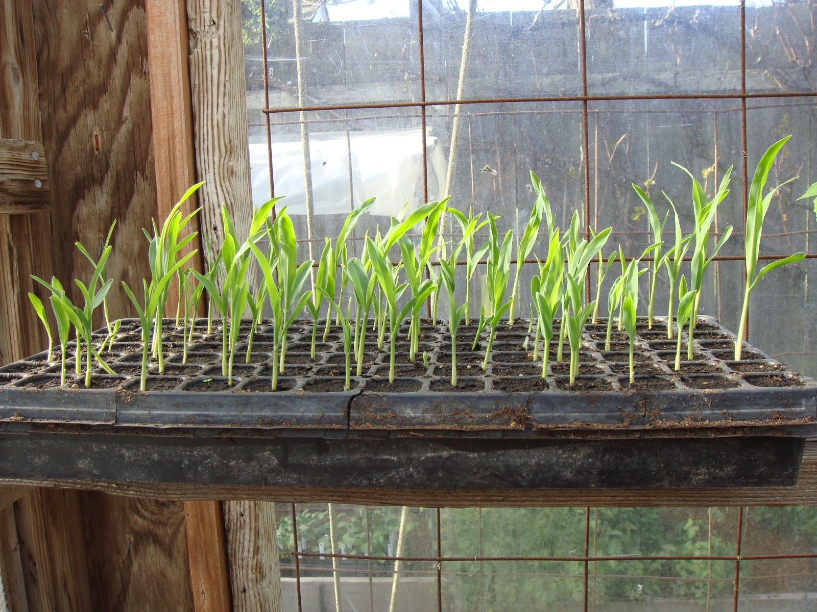 Corn Seedlings in The Garden Oracle's Greenhouse.  The Corn Plants in This Photo are About Three Weeks Old from the Date of Sowing and are Almost Ready for Planting Out in The Garden.  This Corn Has Been Sown in a Full Flat of 98 Mini-Cells with One or Two Seeds Per Cell, Which is Enough Corn for About a 4X10 Foot Garden Planting Bed with the Plants Spaced 8 Inches Apart and a 4 Inch Border, Or a 4X16 Foot Bed if You Space The Plants One Foot Apart with a 6 Inch Border.  Make Sure to Check Out the Large Assortment of Corn Seeds Available Through the Vegetable Seeds Tab at the Top of this Site; Including Early and Late Varieties, Sweet Corn, Super Sweet, Triple Sweet and Specialty Types.