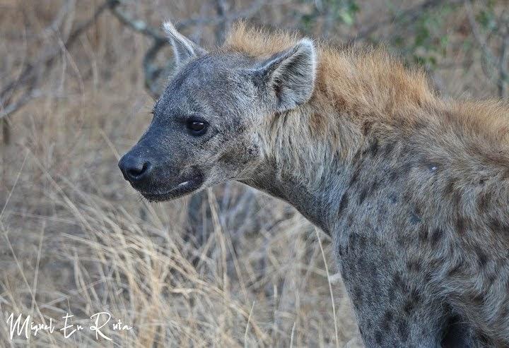 Hiena en Shukuza, Kruger