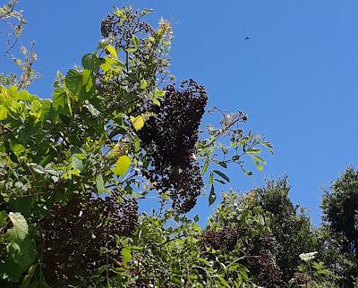 wild elderberries